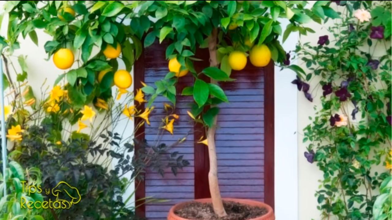 Los 5 mejores rboles frutales para cultivar en maceta - Plantar arboles frutales en macetas ...